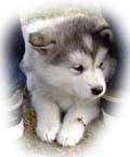 Malamute Ring Homepage